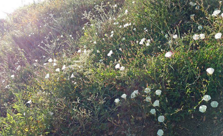 Morning Glory, (Ipomoea purpurea) – Nervousness.