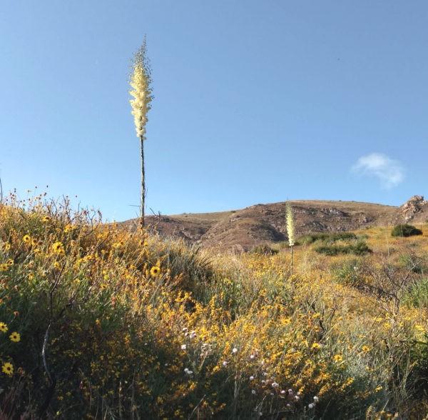 Yucca Whipplei, (Hesperoyucca whipplei) – Transforms Anger.