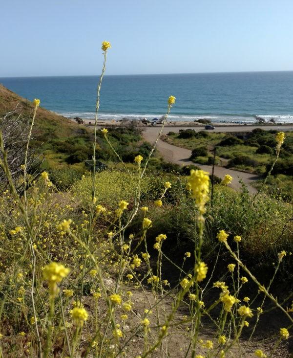 Mustard, (Brassica Kaber) – Cheerfulness.